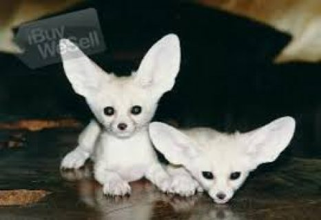 Beautiful Male and female Fennec Fox  for sale