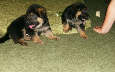 German Shepherd puppies for Good Family for sale.