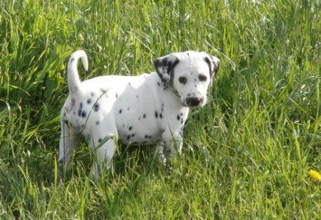 adorable dalmatian puppies for sale././/./.