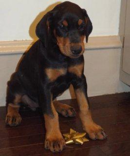 Doberman Pinscher puppies for Adoption .