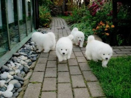 Samoyed puppies for sale 3456