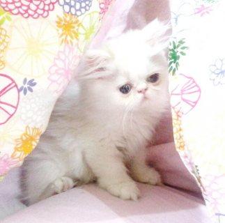 قطة شيرازية 3 اشهر
