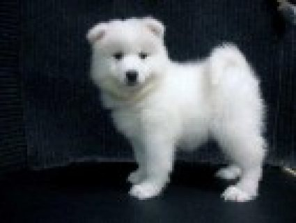 Beautiful, healthy, active litter of Samoyed Puppies, boy and 5