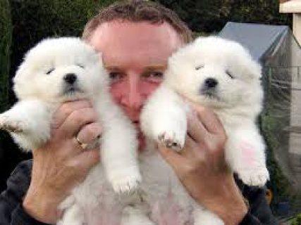 Samoyed Puppies for Adoption 76543