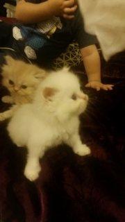 قطط شيرازية للبيع في الامارات