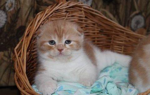 Folded Ears Scottish Fold Kittens Ready Now