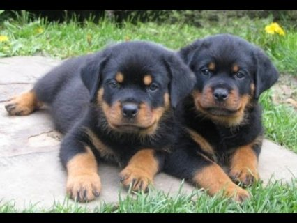 Adorable Rottweilers Puppies for sale