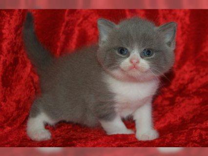 British Short hair kittens Avialable