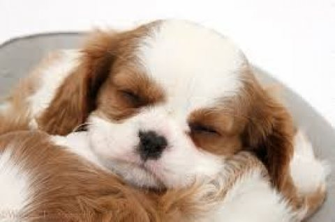 Male and female Cavalier King Charles Puppies for sale.Contact u