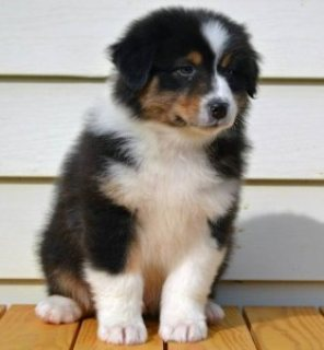 Male and Female Australian Shepherds Puppies for Sale...