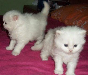 Sweet White Persian Kittens for sale