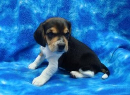 Cute and Charming Beagle Puppies 545465
