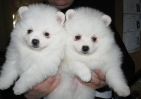 Gorgeous Pomeranian Puppies For Good Homes667434