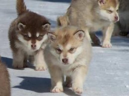Alaskan Malamutes Puppies 654544