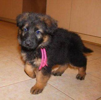 Germam Shepard puppies