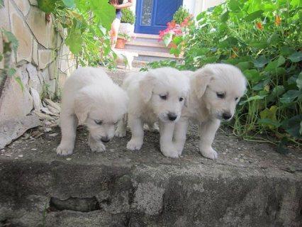 Male and female Golden Retriever pups,AKC