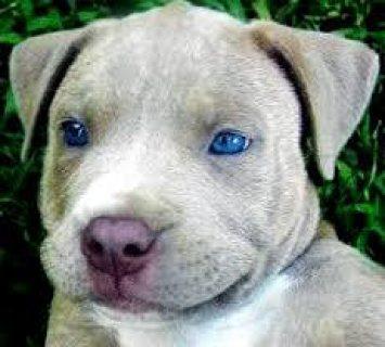 purebred pedigree pitbull pups