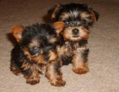 teacup yorkie pups available