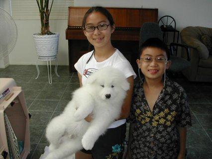 Healthy Samoyed Puppies