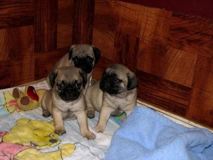 //Adorable pug puppies for adoption/rehoming//