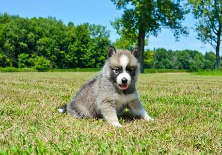 Cute Pomsky puppies for adoption