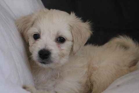 cavachon puppy for adoption