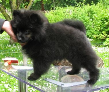 Cute AKC Pomeranian Puppy, Price Reduced