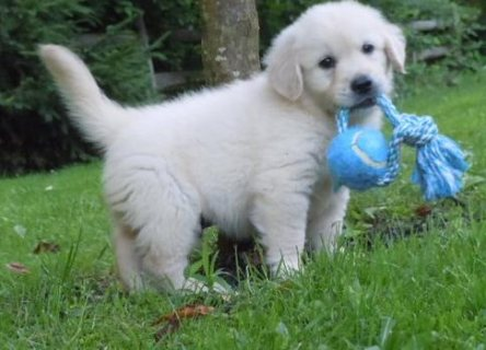 Good looking Golden Retriever Puppies for Sale