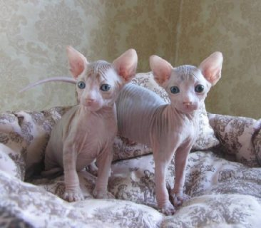 Angelic Sphynx Kittens Ready Now