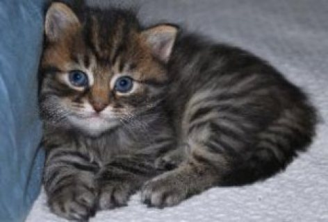 We breed High Quality, Healthy,and Happy siberian kittens for sa
