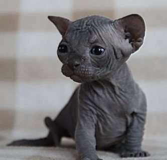 amazing Sphynx kitten solid blue male.
