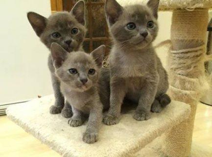 Beautiful Burmese kittens For Sale