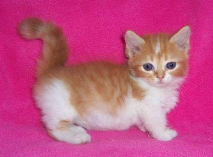 Beautiful Munchkin Kittens for Sale