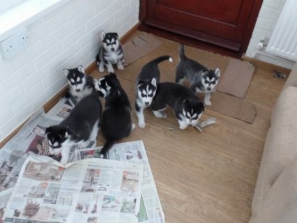 beautiful pure breed Siberian husky puppies