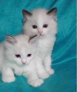 2 white purebreed ragdoll kittens