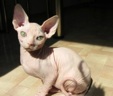 Lovely Sphynx Kittens available//