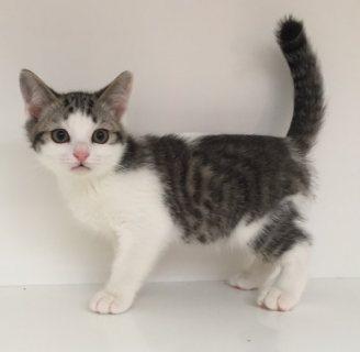Registered Scottish fold Kittens For Re-Homing