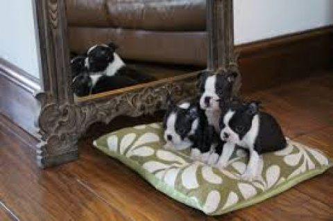beautiful black brindle and white boston terrier puppies beautiful black brindle and white boston terrier puppies 7285