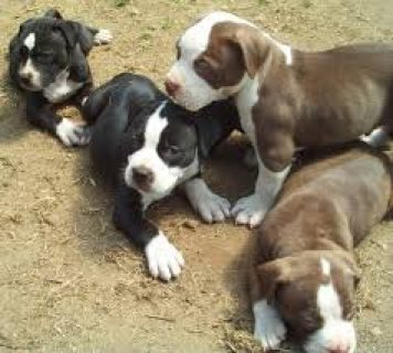 Marvelous Pitbull Puppies For Adoption