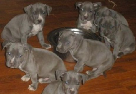 Blue nose American Pitbull puppies for adoption ((Do Contact Me