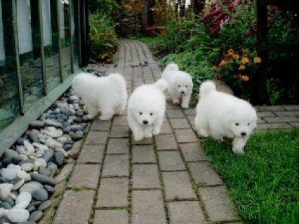 12 weeks old Purebred Samoyed Puppies