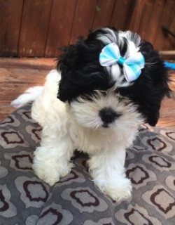 Shih Tzu 2 Adorable Pups Looking For a Home