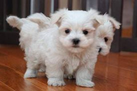 Healthy Teacup male and females Maltese Puppies