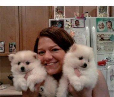 Adorable pomeranian puppies for x-mas