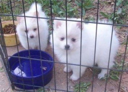 Excellent Samoyed Puppies for XMASS Adoption