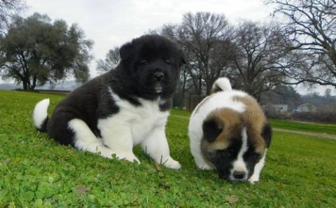 sweet akita puppies 4 U