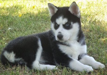 good looking male siberian husky pup for new home