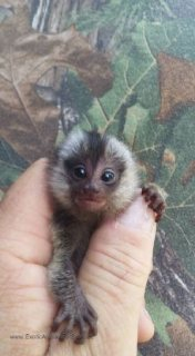 marmoset monkey