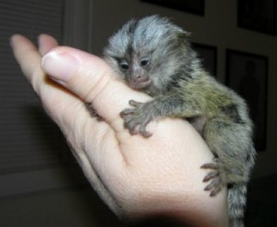 Beautiful Marmoset Monkey Available