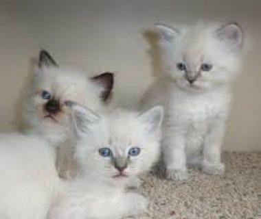 GCCF Registered Full Pedigree Ragdoll male kitten for sale.